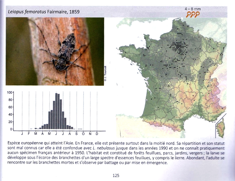 Petite histoire d'une découverte : Leiopus femoratus en France – Seconde partie