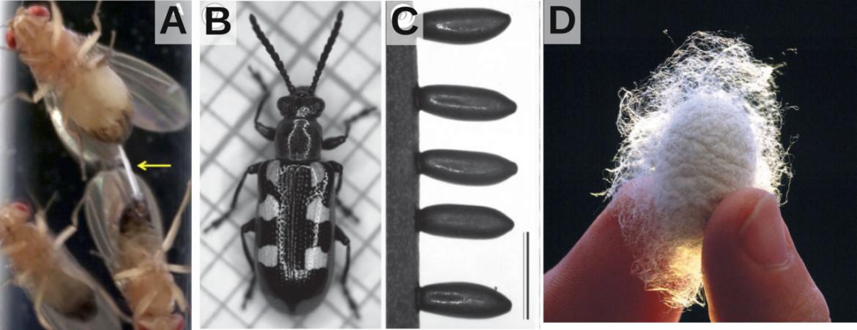 Les propriétés insoupçonnées de la colle produite par la drosophile