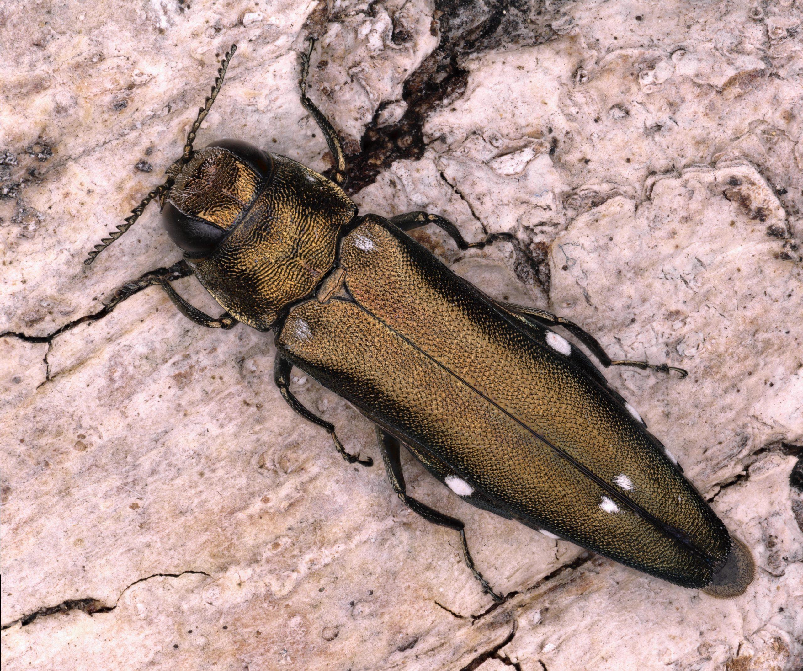 Effets des dépérissements forestiers sur les Agriles et insectes associés aux canopées