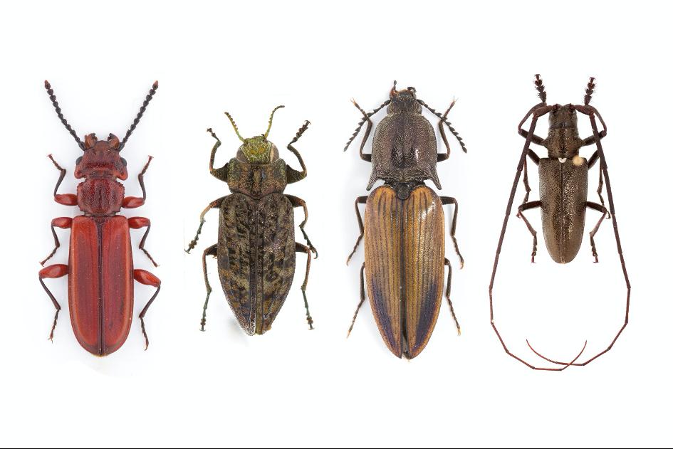 L'entomologie forestière boréale : l'étude des saproxyliques