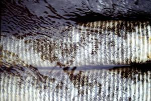 Larves de l'espèce Simulium damnosum