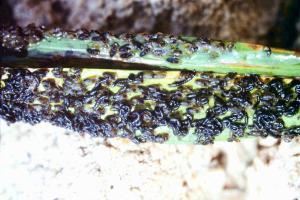 Larves de l'espèce Simulium damnosum sur une feuille