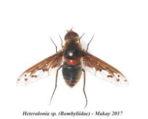 Heteralonia sp. (Bombyliidae) - Makay 2017