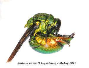 Stilbum viride (Chrysididae) - Makay 2017