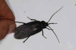 Blatte - non déterminée (Blattoptera)