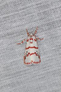 Papillon - non déterminé (Lepidoptera)