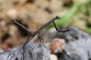 Mante - non déterminée (Mantodea)