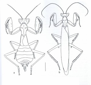 Ameles spallanzania Ameles spallanzania - à gauche : femelle - à droite : mâle - échelle : 4mm (Source : Battiston et al., 2010)