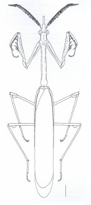 Empusa pennata - échelle : 4mm (Source : Battiston et al., 2010)