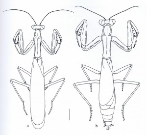 Iris oratoria Ameles spallanzania - à gauche : mâle - à droite : femelle - échelle : 4mm (Source : Battiston et al., 2010)