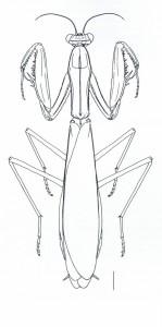 Mantis religiosa - échelle : 4mm (Source : Battiston et al., 2010)