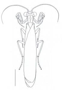 Perlamantis alliberti - échelle : 4mm (Source : Battiston et al., 2010)