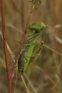Mantis religiosa - Couple