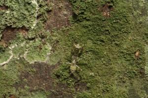 Theopompella sp.