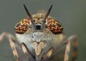 Mouche Tabanidae - Espèce Haematopota pluvialis
