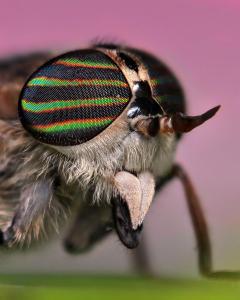 Mouche Tabanidae
