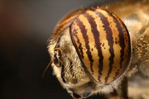Mouche Syrphidae