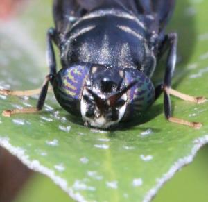 Mouche Stratiomyidae - Espèce Hermetia illucens