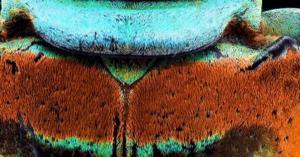 Coléoptère du genre Sternotomis sp. - Zoom du thorax - 80 heures de travail