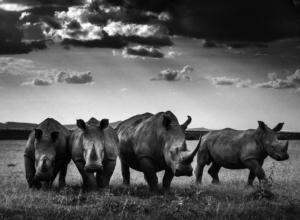 Quatuor de rhinocéros blanc - Kenya - 2013 (L. Baheux)