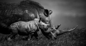 Jeune rhinocéros blanc et sa mère - Kenya - 2013 (L. Baheux)