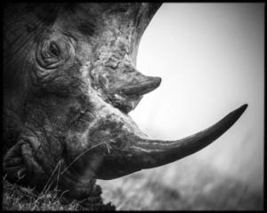 Corne de rhinocéros blanc - Afrique du Sud - 2008 (L. Baheux)