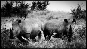 Rhinocéros blanc - Afrique du Sud - 2003 (L. Baheux)