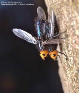 Thyreophora cynophila.1