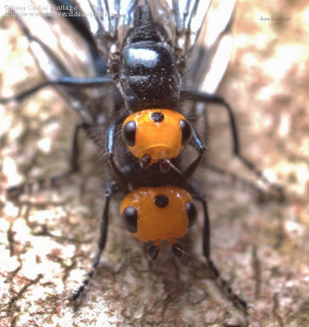 Thyreophora cynophila.4