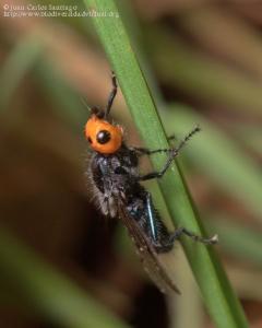 Thyreophora cynophila.5