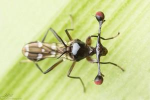 Espèce non déterminée (Famille Diopsidae)