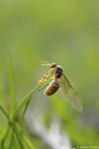 Reine du genre Lasius (Formicidae)