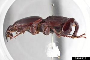 Hypocephalus armatus 5