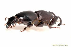 Hypocephalus armatus 4