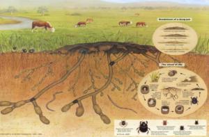 Cycle de recyclage et de valorisation d'excréments de bovins dans les prairies australiennes