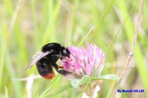 Bombus lapidarius butinant une fleur (Apidae)