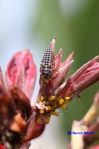 Larve de coccinelle se nourrissant d'un puceron (Coccinellidae - Coléoptera)