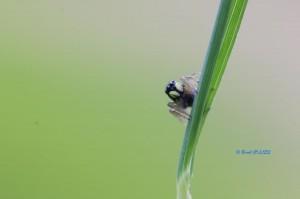 Heliophanus sp. (juvénile)