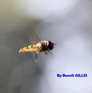 Episyrphus balteatus en vol (Syrphidae - Diptera)