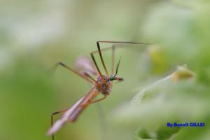 Mouche de la famille des Tipulidae (Diptera)