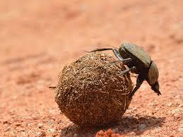 Bousier sur une boule d'excrément